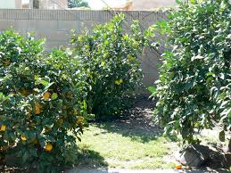 bearss lime tree compact tree that produces large seedless