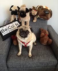 Dog Bacon Meme - pug dogs bacon dump a day