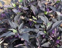 capsicum annuum purple flash purple flash ornamental pepper from