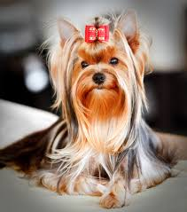 types of yorkie haircuts how to groom a yorkie dog life and style
