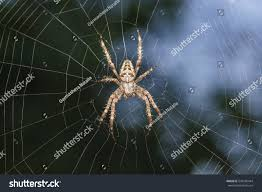 the family garden spider gardenspider lat araneus kind araneomorph stock photo