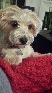 bichon frise vs yorkie yorkie bichon bichon frise yorkshire terrier mix info