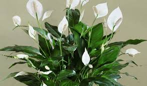 peace lilly peace spathiphyllum plant buy plants online india