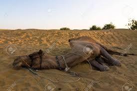 thar desert camel on safari thar desert rajasthan india stock photo