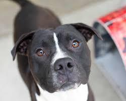 american pit bull terrier brindle redbone coonhound coco brindle pitbull mastiff mix the boxer