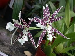 oncidium orchid file a and b larsen orchids oncidium mord cross dscn4536 jpg