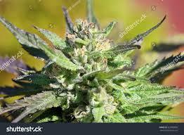 macro mature cannabis flower grow operation stock photo 327883856