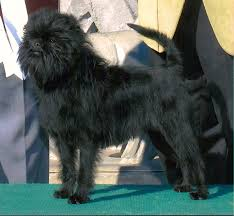 affenpinscher breeders canada find the perfect affenpinscher purebred puppy