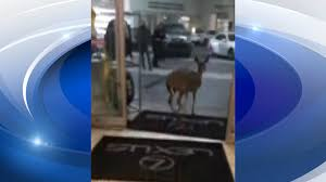 lexus dealership roswell video deer runs through showroom of atlanta area car dealership
