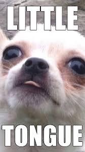 Chihuahua Meme - little chihuahua little tongue meme on imgur