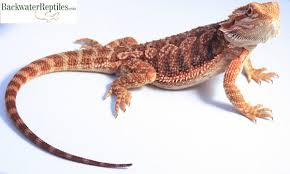 bearded dragon archives backwater reptiles blog