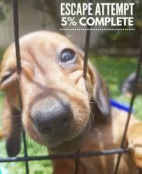 Wiener Dog Meme - unique 22 wiener dog meme wallpaper site wallpaper site