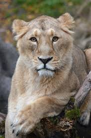 best 25 asiatic lion ideas on pinterest lion cub tigers in the