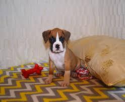 boxer dog 2015 boxer puppies heartland boxers