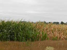irrigated corn the corn irrigation project canadian resources for missions foundation