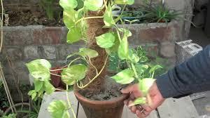 how to grow money plant in water bottle indoor money plant care