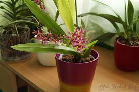 oncidium orchid oncidium katrin zoch orchid nature