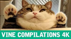 Diabetes Cat Meme - cat vine compilation 2015 ultimate compilation