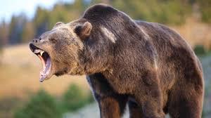 yelling bear blank template imgflip