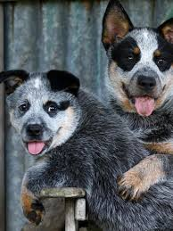australian shepherd eye diseases queblue australian cattle dogs