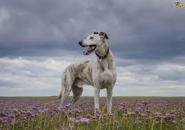 belgian shepherd x lurcher lurcher dog breed information buying advice photos and facts
