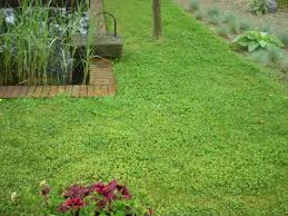 clover and creeping thyme yard ideas and front yards