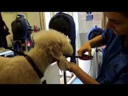 grooming a bedlington terrier puppy bedlington terrier grooming video funnydog tv