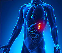 Webmd Human Anatomy Spleen Video What Does This Organ Do