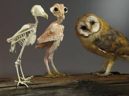 Where Does The Barn Owl Live People Can U0027t Get Over This Photo Of A U0027naked U0027 Owl Which Shows How