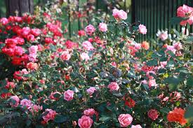 roses and other gardening joys i dream in color