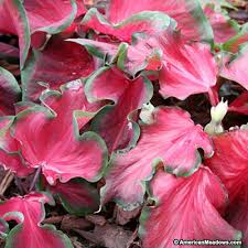 caladium bulbs red frill american meadows