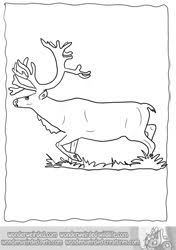 real reindeer coloring pages from our real animal coloring pages