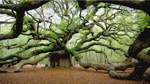 trees largest highest widest tallest trees of the world