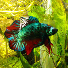 freshwater fish betta splendens colour and tail shapes u2013 freshwater fish global