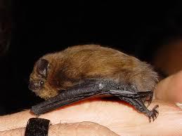 small bat common pipistrelle