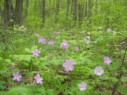 wild geranium wildflower wednesday