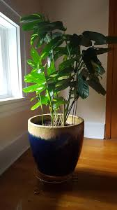 house tropical house plant glossy green leaves tropical free