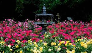 drift roses garden guru be bold with colorful drift roses savannahnow