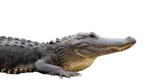 accidentally gun a alligator that was scaring