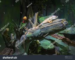big iguana lizard terrarium animal background stock photo