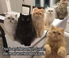 Persian Cat Meme - persian cat kitten meme is an intervention we re all lhis susan