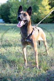 belgian shepherd health problems get belgian malinois leather harness