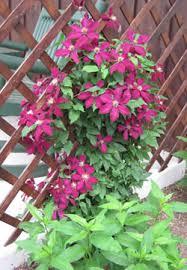 Climbing Plant Supports - garden design garden design with parthenocissus tricuspidata