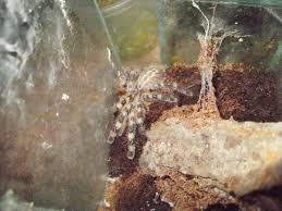 ornamental baboon tarantula care image mag