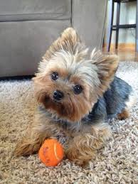 haircuts for yorkie dogs females yorkshire terrier energetic and affectionate yorkshire terrier