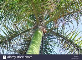 palm tree leaves cancun u0027s riviera maya mexico stock photo