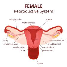 Human Anatomy Cervix Reproductive System Female With Label Female Reproductive System