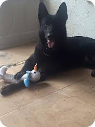 belgian malinois rescue florida clyde adopted dog pinellas park fl german shepherd dog