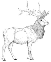 elk coloring page elk coloring pages in animals coloring style