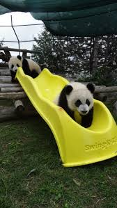 423 best pandas images on pinterest pandas animals and giant pandas